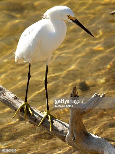 Snowy Egret on a Branch