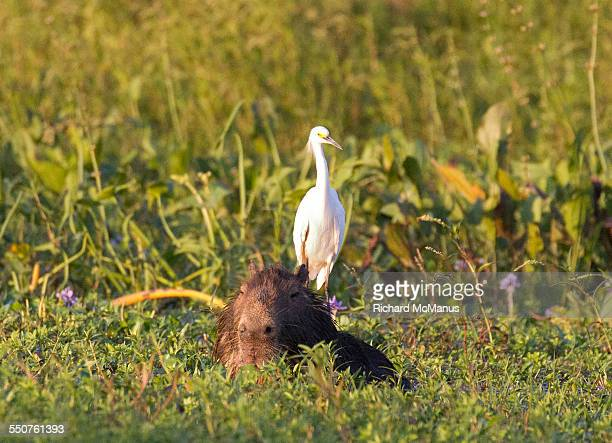 Snowy Egret on Capybara.