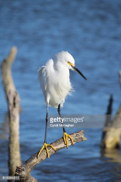 Snowy Egret Perched on a Branch