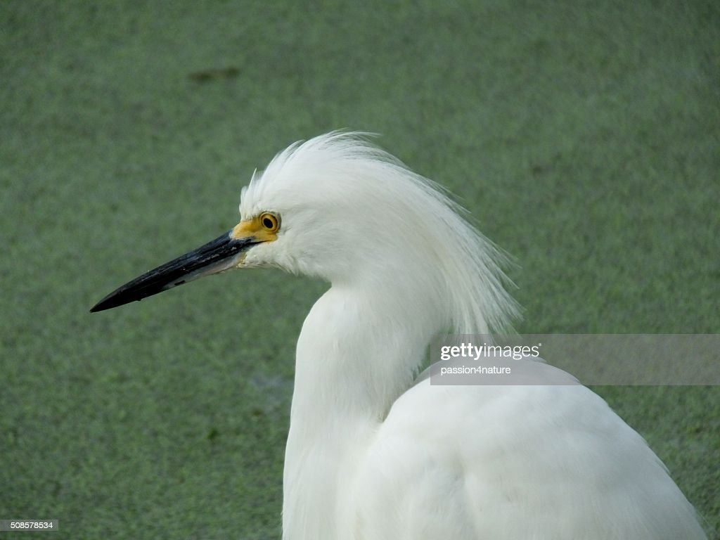 Snowy Egret (Egretta thula) : Stock Photo