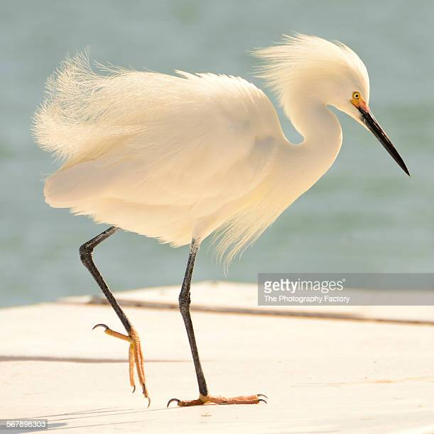 snowy egret (egretta thula) - sarasota stock photos and pictures