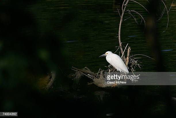 A snowy egret roosts along the San Gabriel River where the mosquitoes that can carry West Nile Virus are believed to have bred in previous seasons on...