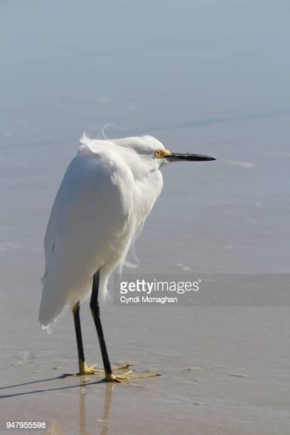 snowy egret standing on beach - froncé photos et images de collection