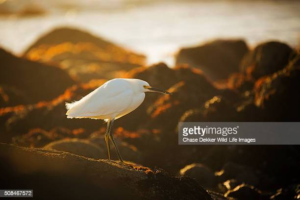 snowy egret sunset - pebble beach california stock pictures, royalty-free photos & images