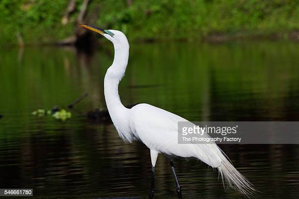 snowy egrets (egretta thula) seen in the myakka wilderness swamps and wetlands, along the gulf of mexico in florida - sarasota stock pictures, royalty-free photos & images
