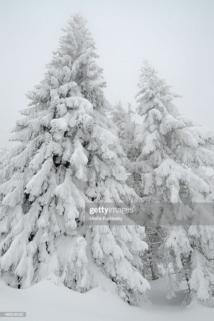 Snowy forest : Stock Photo