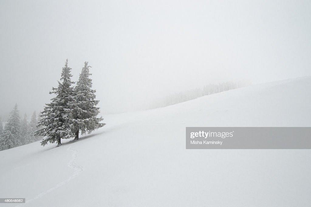 Nívea bosque : Foto de stock