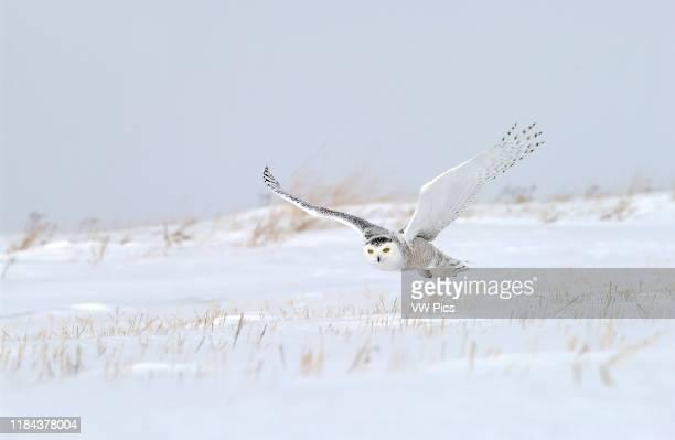 Snowy Owl adult female flying over snowy field near Oak Hammock Marsh, Winnipeg, Manitoba, Canada