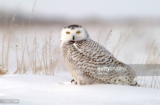Snowy Owl adult female perched in snowy field near Oak Hammock Marsh, Winnipeg, Manitoba, Canada