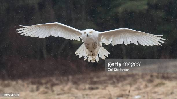 snowy owl approach - gliding stock photos and pictures