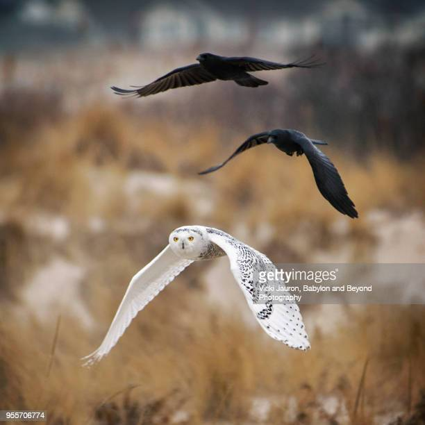 snowy owl being chased by crows on long island - chouette blanche photos et images de collection