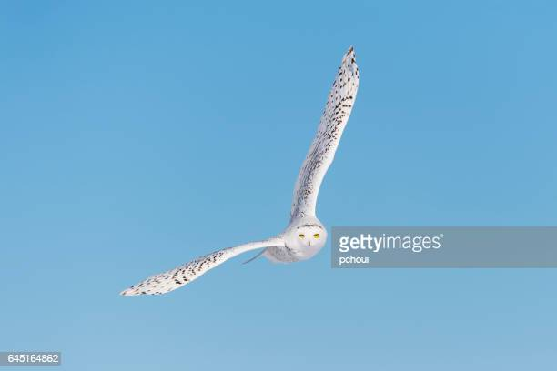 snowy owl, bubo scandiacus, bird in flight, blue sky - chouette blanche photos et images de collection