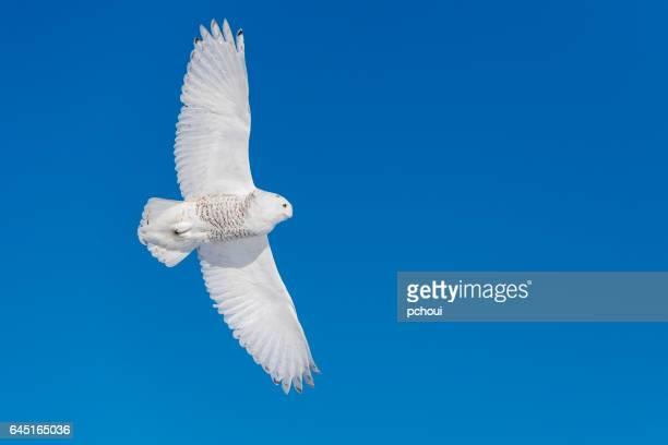Snowy Owl, bubo scandiacus, bird in flight, blue sky