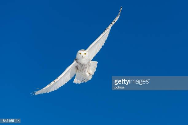 snowy owl, bubo scandiacus, bird in flight, blue sky - owl stock pictures, royalty-free photos & images