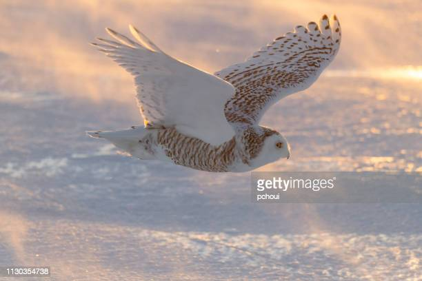 snowy owl, bubo scandiacus, bird in flight - snowy owl stock pictures, royalty-free photos & images