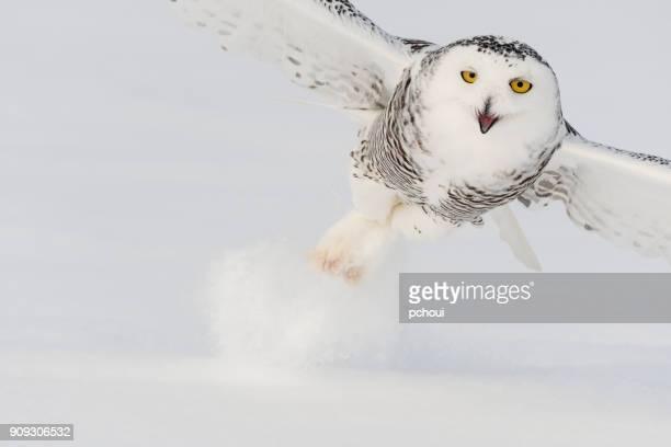 Lechuza, Scandiacus del bubón, pájaro en vuelo