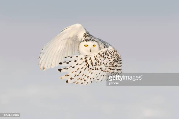 Snowy owl, bubo scandiacus, bird in flight