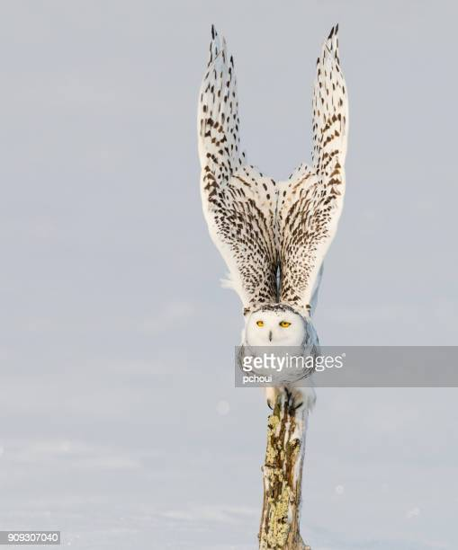 snowy owl, bubo scandiacus, bird in flight - rare stock pictures, royalty-free photos & images