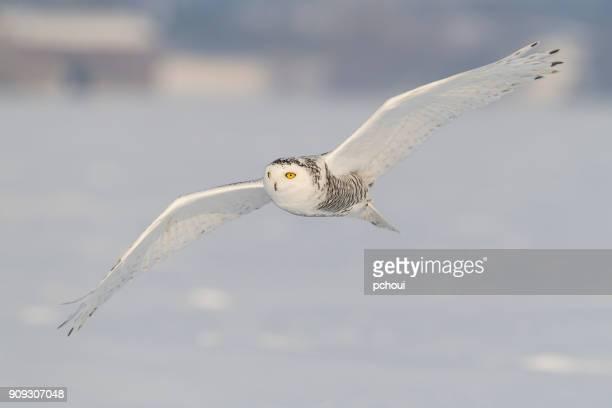 Harfang des neiges, bubo scandiacus, oiseau en vol