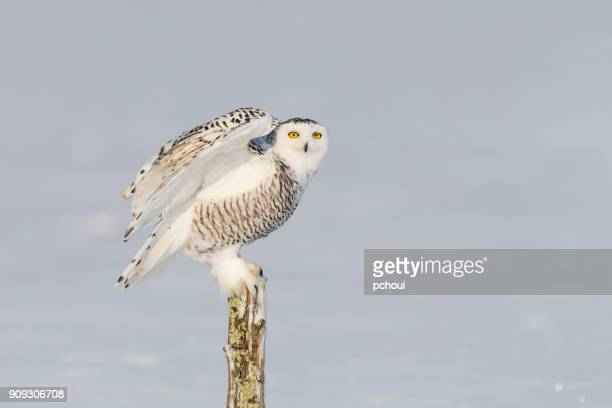 Snowy owl, bubo scandiacus, bird perching