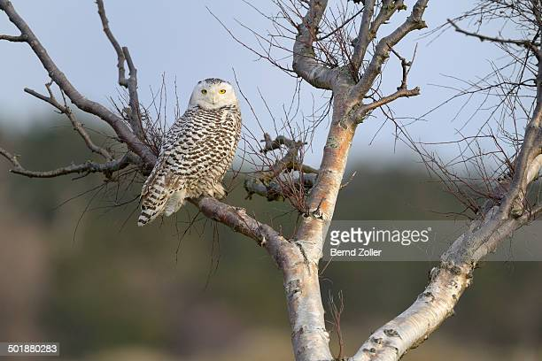 Snowy Owl -Bubo scandiacus-, female resting on a birch in the winter area, Vlieland, West Frisian Islands, province of North Holland, Netherlands