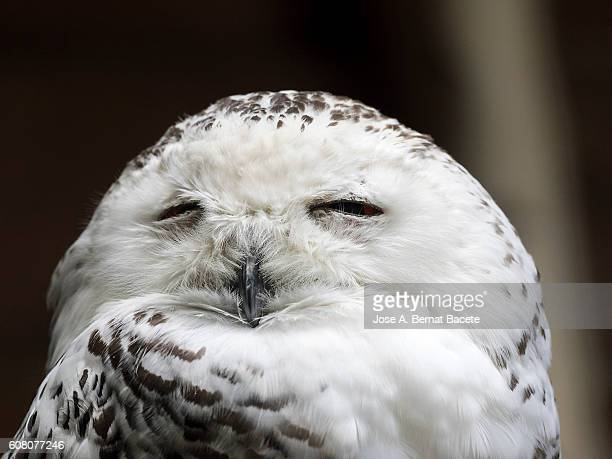 snowy owl, bubo scandiacus, portrait, asleep with his eyes closed on a rock .  pyrenees, france. - animal behaviour stock pictures, royalty-free photos & images