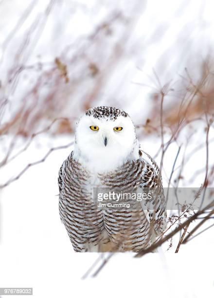 snowy owl (bubo scandiacus) closeup hunting over a snow covered field in canada - ontario kanada stock-fotos und bilder