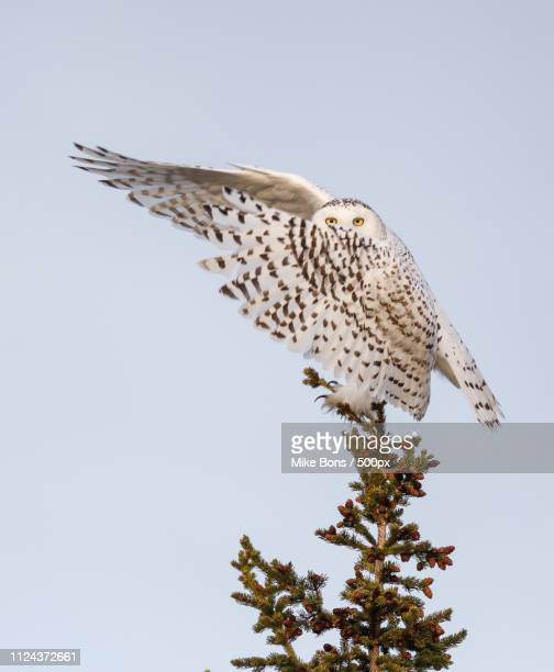 snowy owl dab - snowy owl stock pictures, royalty-free photos & images