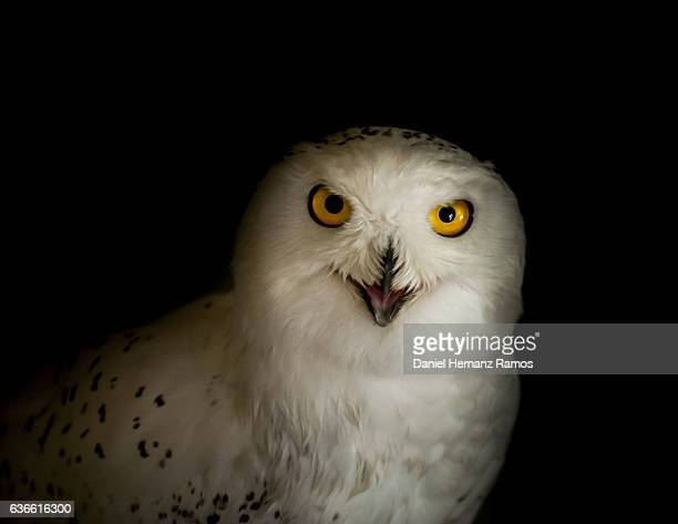 Snowy owl eyes looking at camera. Bubo scandiacus