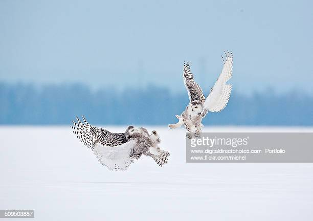 snowy owl fight - snowy owl stock pictures, royalty-free photos & images