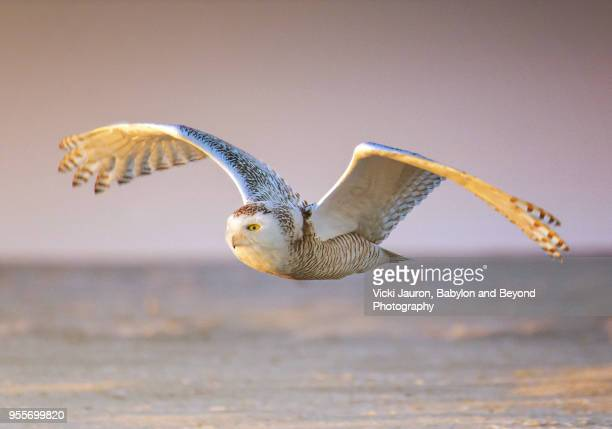 snowy owl flying low over sand at jones beach - jones beach stock pictures, royalty-free photos & images