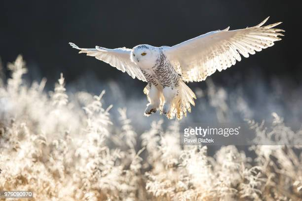 a snowy owl flying over a frosty field of plants. - chouette blanche photos et images de collection