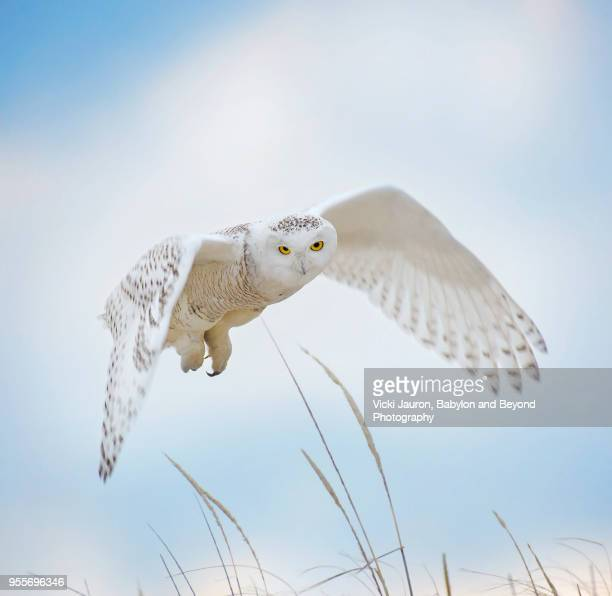 snowy owl flying toward camera against beautiful blue sky at jones beach - chouette blanche photos et images de collection