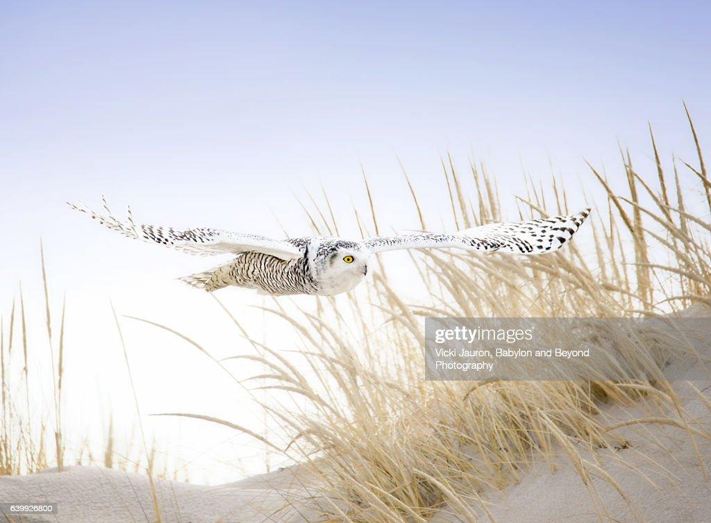 Snowy Owl Bubo Scandiacus Flying Toward Camera At Jones Beach Long Island