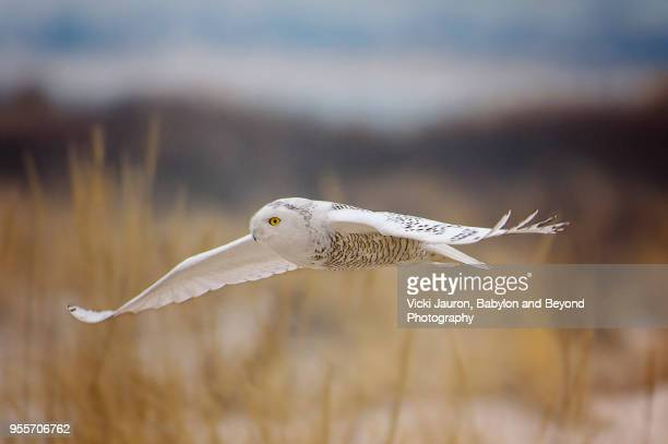 snowy owl gliding over dunes at jones beach - gliding stock pictures, royalty-free photos & images