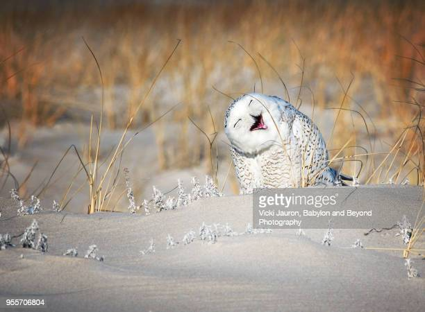 snowy owl having a good laugh at jones beach, long island - chouette blanche photos et images de collection
