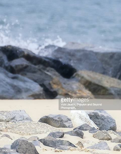 snowy owl hiding in plain sight - wantagh stock pictures, royalty-free photos & images