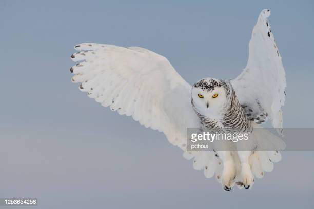 snowy owl hovering, bird in flight - snowy owl stock pictures, royalty-free photos & images