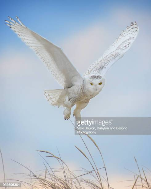 snowy owl hovering in air against blue sky at jones beach, long island - chouette blanche photos et images de collection