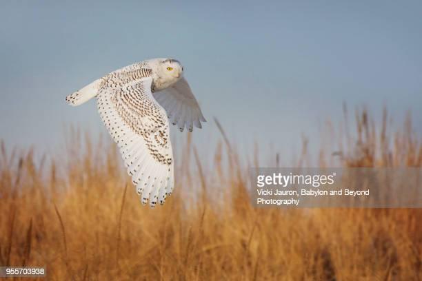 snowy owl in elegant flight over grass at jones beach, long island - jones beach stock pictures, royalty-free photos & images