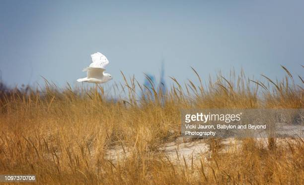 snowy owl in flight against freedom tower at jones beach, long island - jones beach stock pictures, royalty-free photos & images