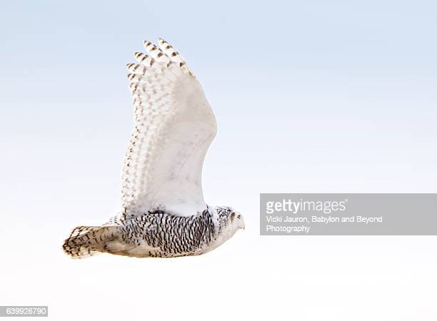 snowy owl in flight (bubo scandiacus) at jones beach - chouette blanche photos et images de collection