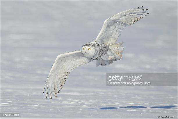 snowy owl in flight - snowy owl stock pictures, royalty-free photos & images