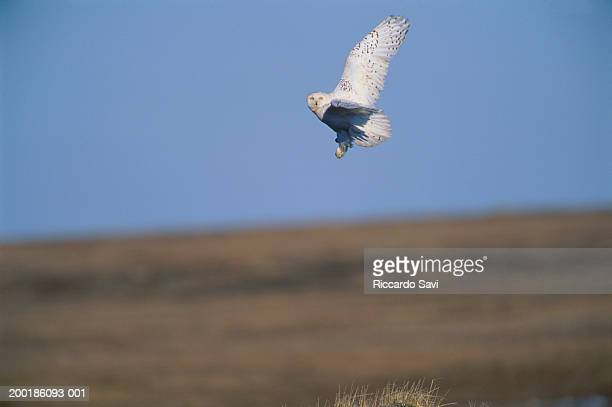 snowy owl (nyctea scandiaca) in flight - barrow alaska stock pictures, royalty-free photos & images