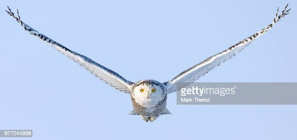 snowy owl (bubo scandiacus) in flight - birds_of_prey stock pictures, royalty-free photos & images
