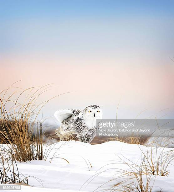 snowy owl (bubo scandiacus) in snow against blue winter sky - snowy owl stock pictures, royalty-free photos & images