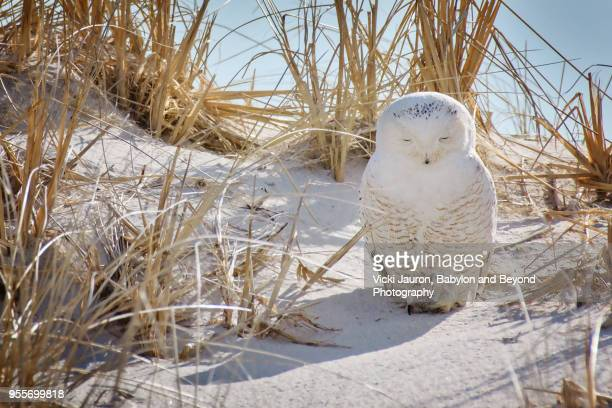 Snowy Owl in the Sand in Deep Thought at Jones Beach, Long Island