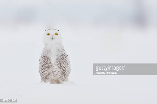 snowy owl (bubo scandiacus) in winter, quebec, canada - chouette blanche photos et images de collection