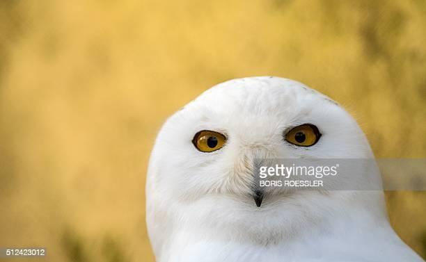 A snowy owl is pictured at the Opelzoo zoo in Kronberg im Taunus near Frankfurt am Main western Germany on February 26 2016 / AFP / dpa / Boris...