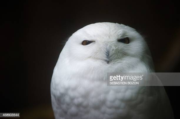 A snowy owl is pictured on November 13 at the zoo in Mulhouse eastern France AFP PHOTO /SEBASTIEN BOZON